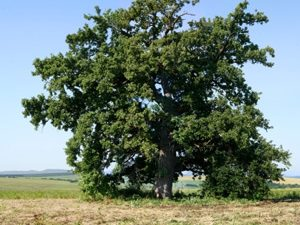 """В ход е гласуването за победител в конкурса """"Дърво с корен 2015"""""""